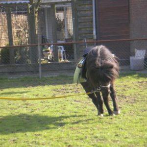bokkende pony aan longeerlijn