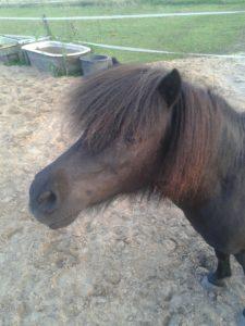 shet clickertraining pony hoofd